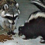 skunk and coon eating cat food