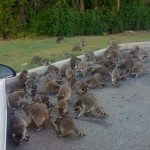 too many raccoons